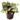 ctenanthe-burle-marxii-amagris