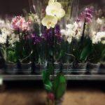 Phalaenopsis amabilis (lepkeorchidea)