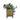 tradescantia-zebrina