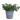 tradescantia-zebrina-silver-green