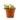 tradescantia-fluminensis-quadricolor