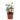 Peperomia-puteolata