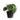 Syngonium-Macrophyllum-Frosted-Heart