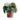 watermelon-peperomia-15-cm-cserepben