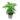 Syngonium-Podophyllum-Trileaf-Wonder
