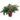 phlebodium-aureum-davana
