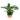 Chlorophytum-orchidastrum-Green-Orange