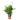 Spathiphyllum-wallisii