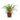Chlorophytum-comosum-Variegatum