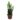 Epiphyllum-anguliger