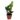 Zamioculcas-zamiifolia-mini
