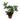 Peperomia-pereskiifolia