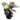 Calathea-roseopicta-Rosy