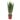 sansevieria-zeylanica-13-cm