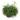 rhipsalis-baccifera-oasis