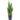 sansevieria-zeylanica-24-cm